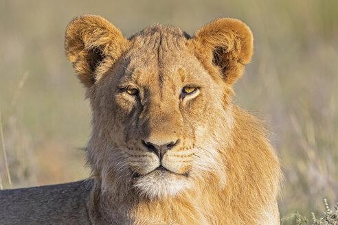 Botswana, Kgalagadi Transfrontier Park, portrait of young lion - FOF10221