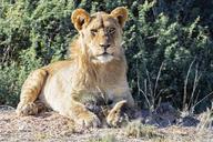 Botswana, Kgalagadi Transfrontier Park, portrait of young lion - FOF10224