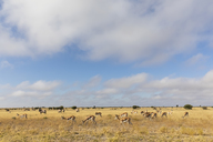 Botswana, Kalahari, Central Kalahari Game Reserve, Gemsboks, Oryx gazella - FOF10233