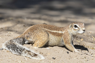 Botswana, Kalahari, Central Kalahari Game Reserve, Unstriped ground squirrel, Xerus rutilus - FOF10245