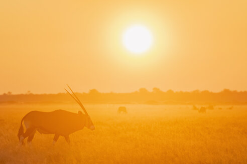 Botswana, Kalahari, Central Kalahari Game Reserve, Greater Kudu at sunrise, Tragelaphus strepsiceros - FOF10248