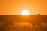 Botswana, Kalahari, Central Kalahari Game Reserve, Greater Kudus at sunset, Tragelaphus strepsiceros - FOF10251