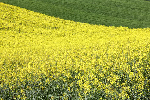 Colza field in Guadalajara. Flowers in spring. Castilla la Mancha. Spain - AURF02452