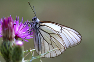 Detail of a butterfly in alto tajo natural park. Guadalajara. Spain - AURF02455