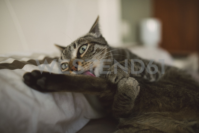 Lying cat licking a paw - RAEF02123