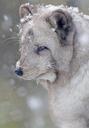 Arctic fox Alopex lagopus, Adult Fox in Snowfall (captive) Highland Wildlife Park - AURF02999
