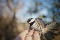 Bird lands on human hand. - AURF03023