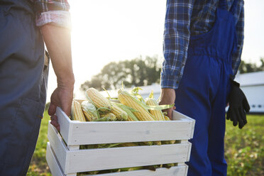 Close-up of two farmers carrying a full crate of corn cobs on the field - ABIF00959