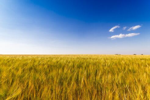 United KIngdom, East Lothian, Barley field, Hordeum vulgare - SMAF01143