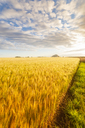 United KIngdom, East Lothian, Barley field, Hordeum vulgare - SMAF01146