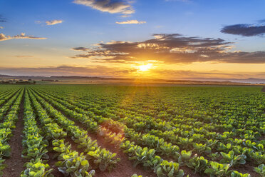 United KIngdom, East Lothian, field of brussels sprouts, Brassica oleracea, against the evening sun - SMAF01149
