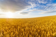 United KIngdom, East Lothian, Wheat field, Triticum sativum, against the sun - SMAF01155