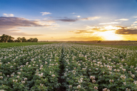 United KIngdom, East Lothian, flowering potato field, Solanum tuberosum, at sunset - SMAF01158