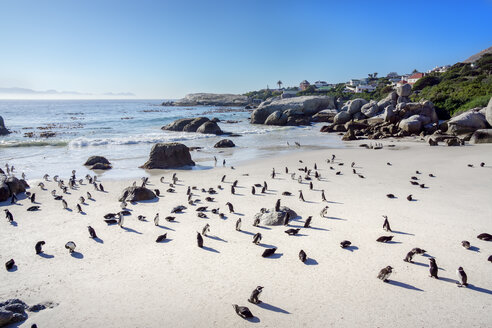 Africa, Simon's Town, Boulders Beach, Brillenpinguin, Colony of black-footed penguins, Spheniscus demersus - WEF00455