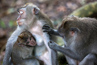 Macaque monkeys in the Sacred Monkey Forest. - AURF03351