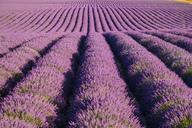 Rows of purple lavender in height of bloom in early July in a field on the Plateau de Valensole near Puimoisson - AURF03528