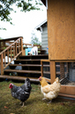 A backyard chicken coop in Austin, Texas. Backyard coops are growing in popularity throughout the country as people are wanting to source their food locally. - AURF03569