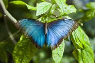 A blue morpho butterfly - AURF03596