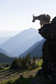 A mountain goat walks along a cliff in Glacier National Park, Montana. - AURF03758