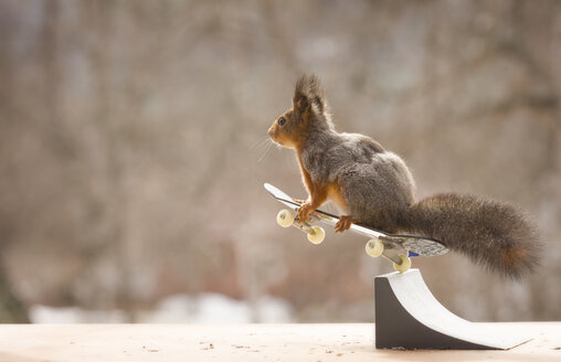 Red squirrel skateboarding - AURF03913