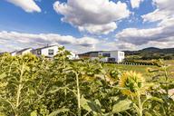 Germany, Baden-Wuerttemberg, Suessen, sunflower field and modern houses - WDF04830
