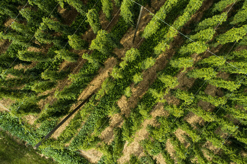 Hop field, Humulus lupulus, from above - MAEF12737