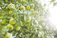 Green apples in tree - MAEF12743