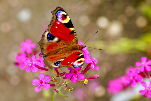 Peacock butterfly on blossom, Inachis Io - JTF01055