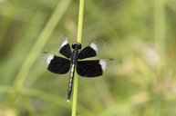 Thailand, Pied paddy skimmer, Neurothemis tullia - ZCF00651