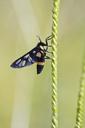 Thailand, Transparent wing moth, Ceryx sphenodes - ZCF00654