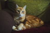 Ginger cat lying on couch - RAEF02140