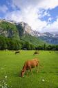 Albania, Kukes County, Albanian Alps, Valbona National Park, cows on meadow - SIEF08021