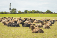 Germany, Schleswig-Holstein, Sylt, Kampen, Braderuper Heide with sheep and view to lighthouse - KEBF00939
