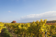 Germany, Rhineland-Palatinate, vineyards in autumn colours, German Wine Route - GWF05647