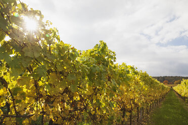 Germany, Rhineland-Palatinate, vineyards in autumn colours, German Wine Route - GWF05650
