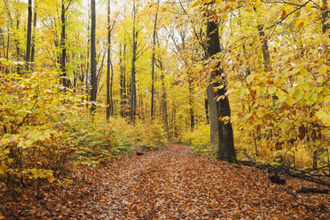 Germany, Rhineland-Palatinate, Palatinate Forest Nature Park in autumn - GWF05662