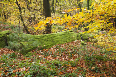 Germany, Rhineland-Palatinate, Palatinate Forest Nature Park in autumn, mossy rock - GWF05665