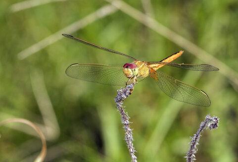 Scarlet skimmer, Crocothemis servilia, dragonfly, close-up - ZCF00657
