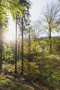 Germany,Rhineland-Palatinate, Pfalz, Palatinate Forest Nature Park in autumn, beech trees - GWF05683