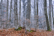 Hoar-frost at beech forest - RUEF01950