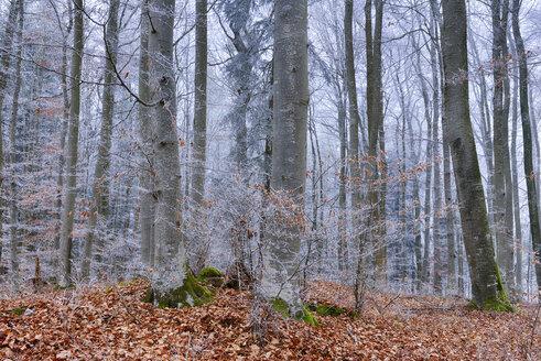 Hoar-frost at beech forest - RUEF01950