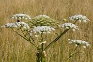 Giant Hogweed - WIF03604