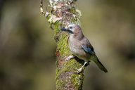 Portrait of Eurasian jay on tree trunk - MJOF01557