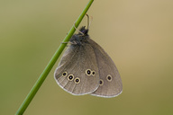 Ringlet on a blade of grass - MJOF01560