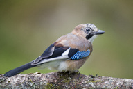 Portrait of Eurasian jay on tree trunk - MJOF01563
