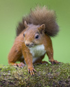 Portrait of red squirrel - MJOF01566