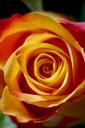 Red orange rose blossom, close-up - JTF01070
