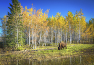 Bison grazing - AURF04940