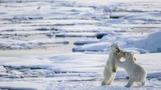 Fighting for fun on the pack ice, Ursus Maritimus, Spitzbergen, Svalbard - AURF05084