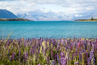 Lupins In Full Blossom Along The Shores Of Lake Pukaki, New Zealand - AURF05246